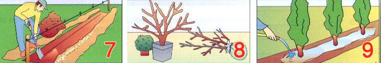 sadnja-zive-ograde