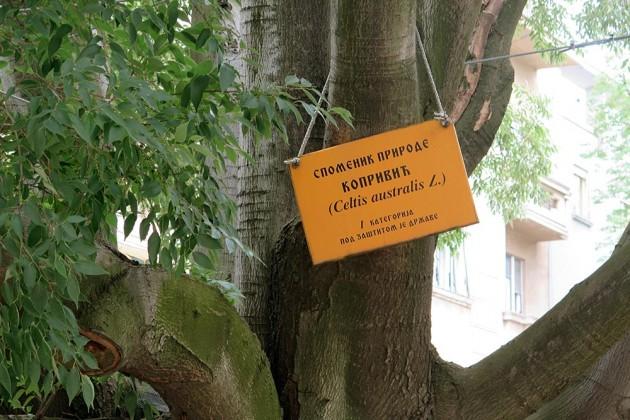 drvo-koprivic-novi-sad-2