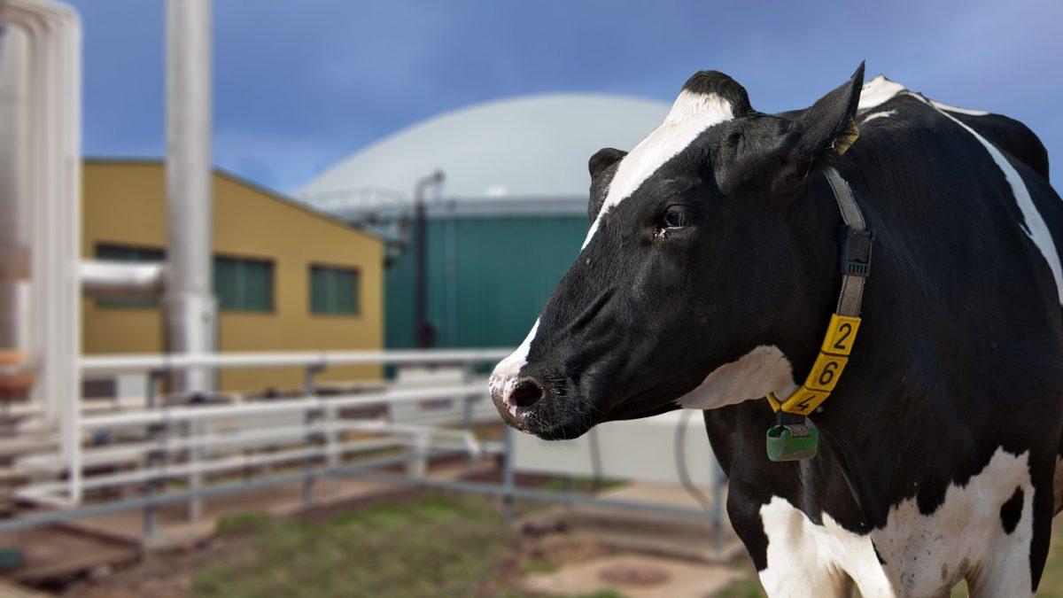 Farma u Čurugu u kojoj krave pored organskog mleka daju i struju